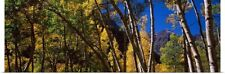 Poster Print Wall Art entitled Aspen trees with mountains in the background,