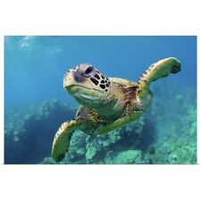 Poster Print Wall Art entitled Green sea turtle swimming over coral reef