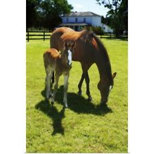 Poster Print Wall Art entitled Mare and Foal I