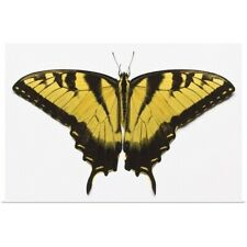Poster Print Wall Art entitled Western Tiger Swallowtail Butterfly