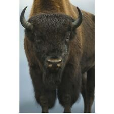 Poster Print Wall Art entitled Wood Bison Bull Standing At Alaska Wildlife