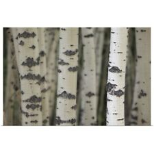 Poster Print Wall Art entitled Aspen Trees, Water Valley, Alberta, Canada