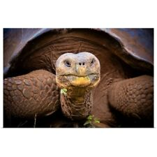 Poster Print Wall Art entitled Galapagos giant tortoise