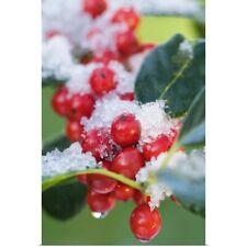 Poster Print Wall Art entitled Frost covered holly