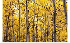 Poster Print Wall Art entitled Autumn scenic of colorful yellow Aspen trees
