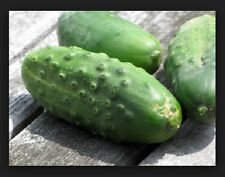 Cucumber, National Pickling- Fresh Hand-packaged Seeds NON-GMO