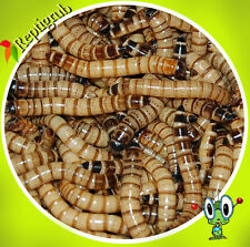500 Medium Live Superworms free shipping, loved by birds and reptiles