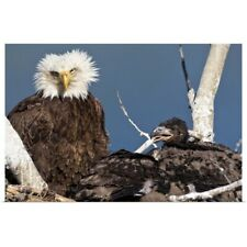Poster Print Wall Art entitled Mature bald eagle and chicks in a nest,