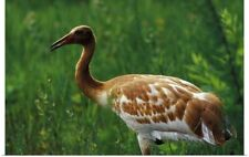 Poster Print Wall Art entitled Central Florida. Two month old Whopping Crane