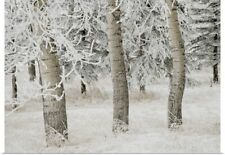 Poster Print Wall Art entitled White Aspens In Winter, Calgary, Alberta, Canada