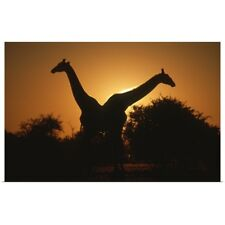 Poster Print Wall Art entitled Giraffe Pair Silhouetted at Dusk. Kruger National