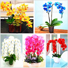 100pcs/pack Rare Phalaenopsis Orchid Bonsai Flower Seeds - 9 Species