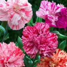 Outsidepride Carnation Chabaud Pictoee Flower Seed Mix