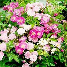 Outsidepride Rosa Chinensis Flower Seeds