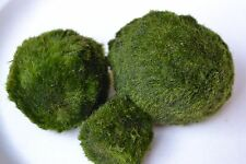 Marimo ball blowout! Best price! US ship Moss live plant beginner tropical fresh