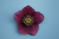 Hellebore orientalis Red single in 9cm pot