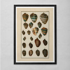 ANTIQUE SEASHELL PRINT- Nautical Nature Print - Professional Reproduction - Anti