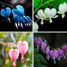 10pc Rare Perennial Spectabilis Herbs Dicentra Bleeding Heart Shade Flower Seeds