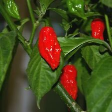 Bhut jolokia seeds - Ghost Pepper - C. chinense × C. frutescens - Extremely Hot