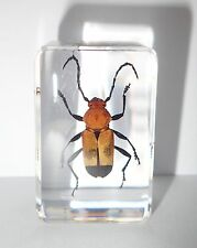 Reddish Longhorn Beetle (Euryphagus miniatus) Insect Specimen Clear Paperweight