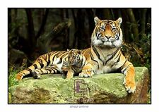 Tiger & Cub A3 Animal Bengal Tiger Cute Cub Print Only or Framed