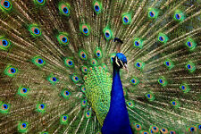 Peacock - CANVAS OR PRINT WALL ART