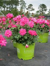 Rose Knockout Double PINK, Disease Resistant, Star Roses, EASY TO GROW, Rebloom