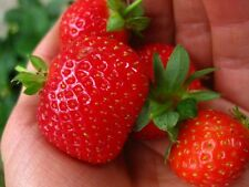 Strawberry Everbearing Bare Roots - Non GMO Plants - Best Tasting Strawberries!