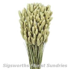 DRIED PHALARIS GRASS BUNCH Natural Rustic Colour Wild Flowers Floral Crafts