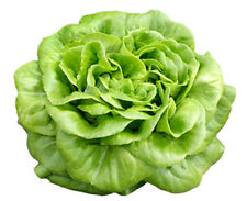 * Butterhead Leaf Lettuce Seeds - Buttercrunch Lettuce - Lactuca sativa Seeds *