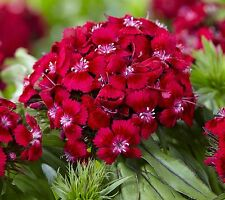 A 1g (approx. 900) sweet william seeds OESCHBERG attractive bronze foliage