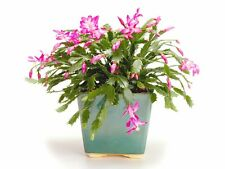 Christmas Cactus/Schlumbergera Variety, Great Starter Cutting Cactus Plants