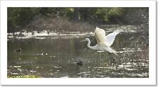 Snowy Egret In Flight Art Print Home Decor Wall Art - 2