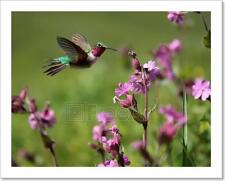 Ruby-Throated Hummingbird And Pink Summer Flowers  Art Print Home Decor Wall - 1