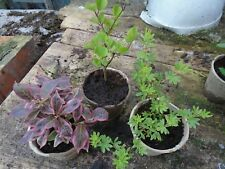 Dwarf Flowering SHRUB collection3small plants