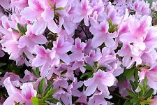Azalea George Taber, Attracts Butterflies, Showy PINK Flowers, easy to grow