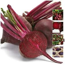 "Beetroot ""Giant Victorian™"" seeds. Large sweet table beetroot, edible leaves."