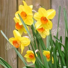 1-5KG YELLOW ORANGE DAFFODIL NARCISSUS GARDEN BULBS AUTUMN GARDEN SPRING FLOWER