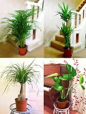 1POPULAR EVERGREEN INDOOR HOUSE PLANT @ POT Office Home Conservatory Garden Tree