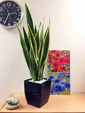MOTHER IN LAW'S TONGUE GOOD LUCK PLANT SNAKE PLANT EVERGREEN INDOOR PLANT IN POT