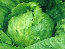 Iceberg Lettuce Seeds – Head Lettuce – Grow Your Own Lettuce From Seeds GMO FREE