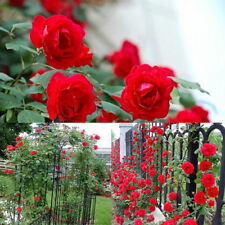 100PCS Rose Seeds Fashion Perennial Fragrant Climbing Flower Garden Decoration