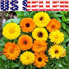 50+ ORGANICALLY GROWN Calendula Officinalis Pot Marigold Mix Seeds Blooms Heavil