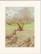 Rooks - Mounted 1930's Vintage Bird Print by G.E. Collins Cream
