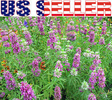 200+ ORGANIC Lemon Mint Seeds Heirloom NON-GMO Lemon Bee Balm Horsemint Fragrant