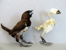 White-rumped Munia Finch Bird OR Skeleton (You Pick) Taxidermy REAL Complete