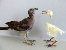 Spotted Dove Bird Mount or Skeleton (You Pick) Taxidermy REAL Complete