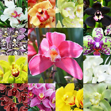 100 Pcs Cymbidium Faberi Seeds, 13 Kinds Color Flower Orchid Seed, Potted Flower