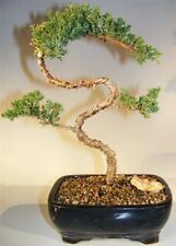 Juniper Bonsai Tree Trained & Shaped juniper procumbens nana 13 yr 10 x 6 x 14 T