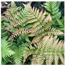 JAPANESE SHIELD FERN *LIVE 2 YEAR OLD PLANT* PERENNIAL DRYOPTERIS SHADE,WET SOIL